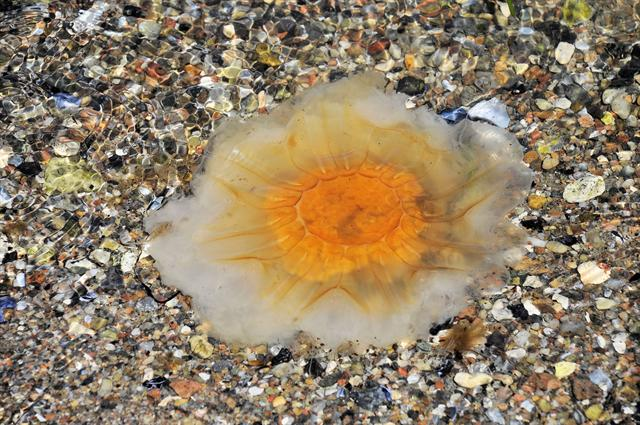 Lions Mane Jellyfish (Cyanea capillata) photo