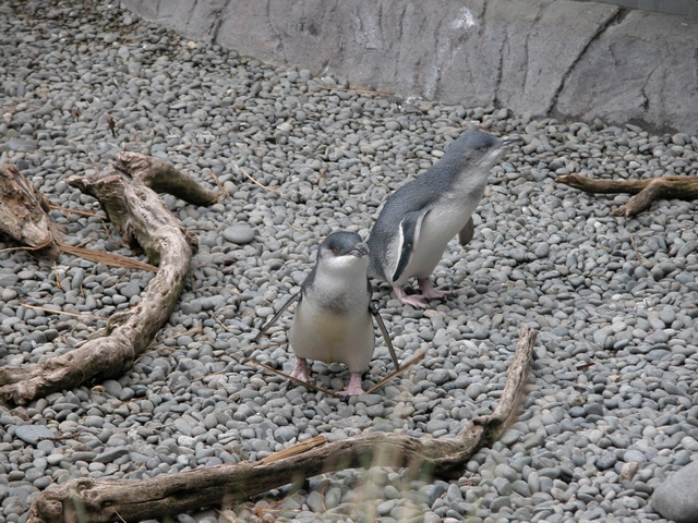 Little Blue Penguin (Eudyptula minor) photo