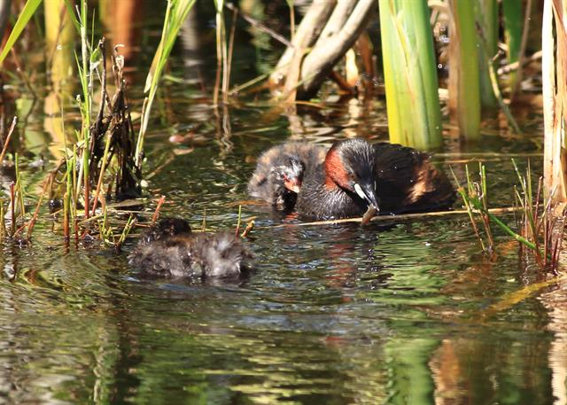 Little Grebe (Tachybaptus ruficollis) photo