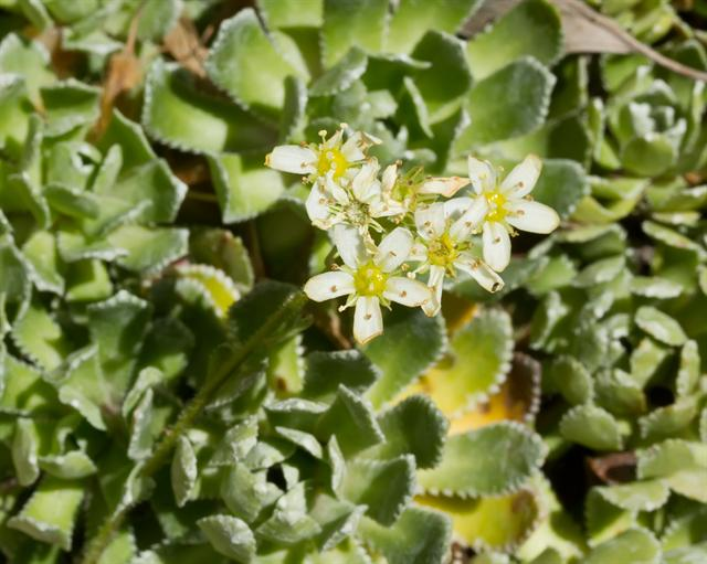 Livelong Saxifrage (Saxifraga paniculata) photo
