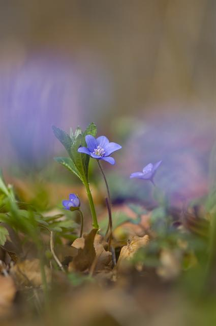 Liverleaf (Hepatica nobilis) photo