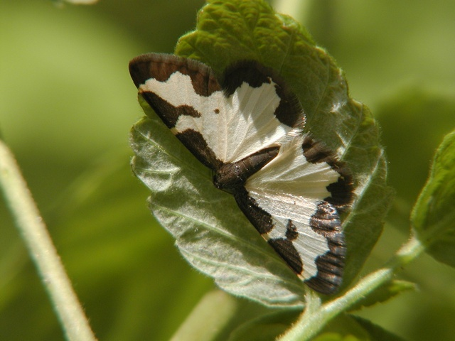 Clouded Border (Lomaspilis marginata)