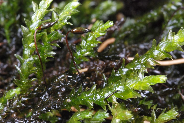 Long-beaked Water Feather-moss (Rhynchostegium riparioides) photo