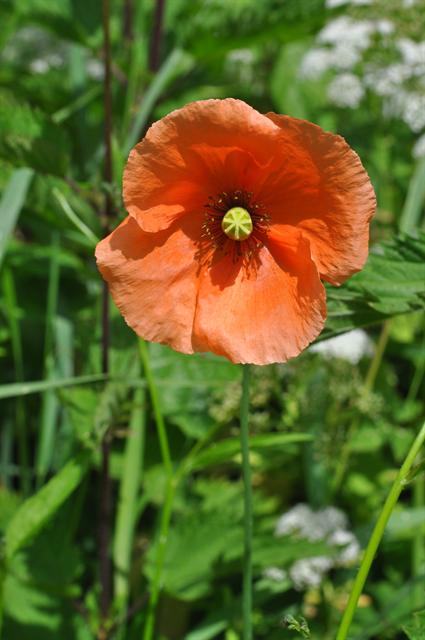 Long-Headed Poppy (Papaver dubium) photo