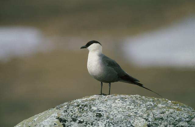 Long-tailed Skua (Stercorarius longicaudus) photo