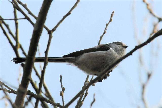 Long-tailed Tit (Aegithalos caudatus) photo