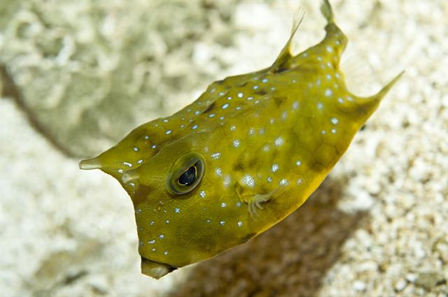 Longhorn cowfish (Lactoria cornuta) photo