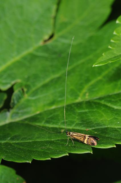 Longhorn Moth (Nemophora degeerella) photo