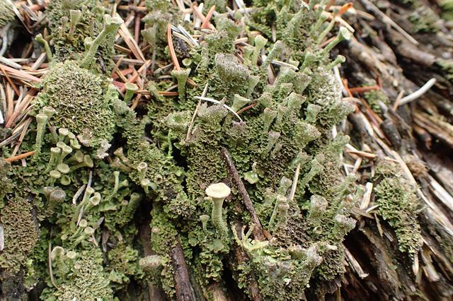 Cladonia chlorophaea photo