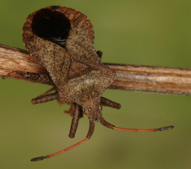 Coreus marginatus photo