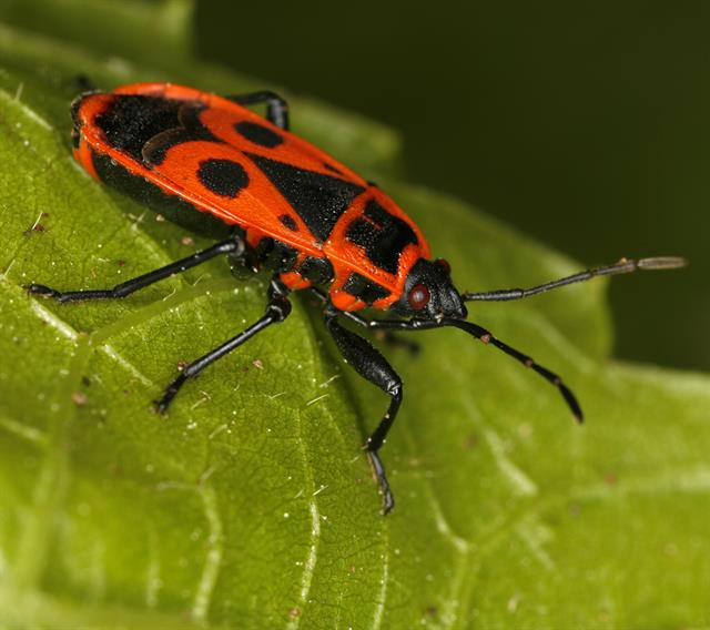 Pyrrhocoris apterus photo