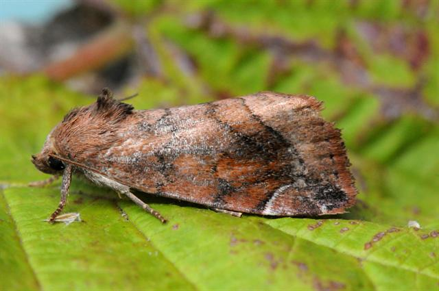 Lunar-spotted Pinion (Cosmia pyralina) photo