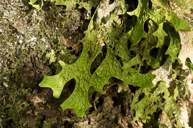 Lung Lichen, Tree lungwort (Lobaria pulmonaria) photo