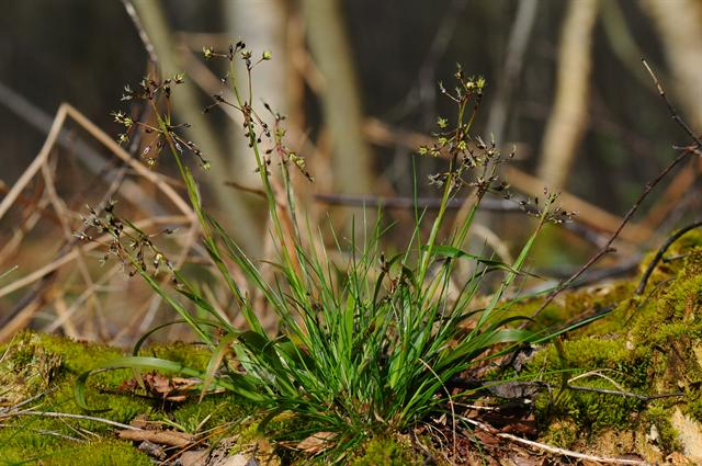 Hairy Wood-Rush (Luzula pilosa)