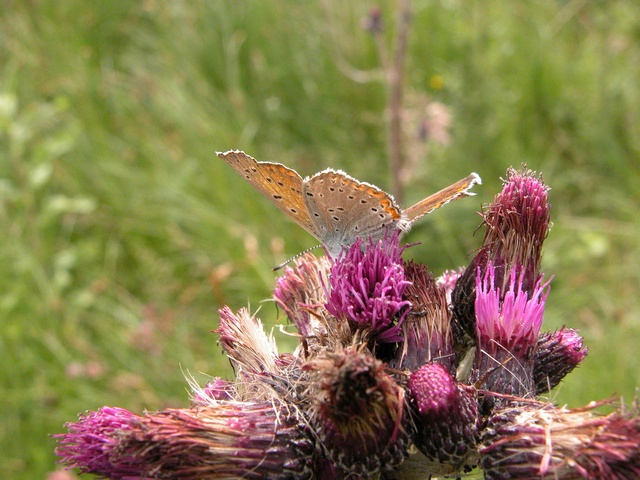 Lycaena hippothoe photo