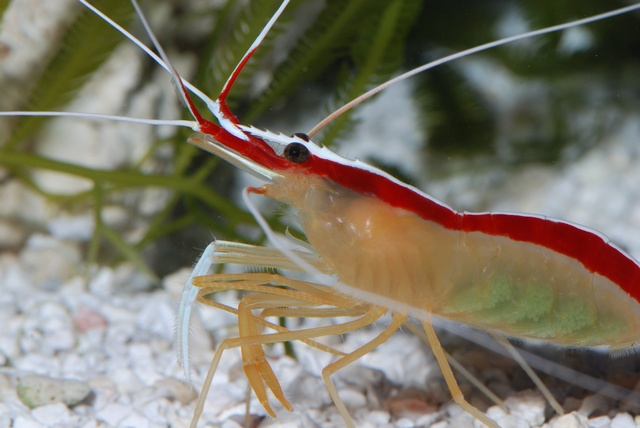 Pacific white-striped cleaner shrimp (Lysmata amboinensis)