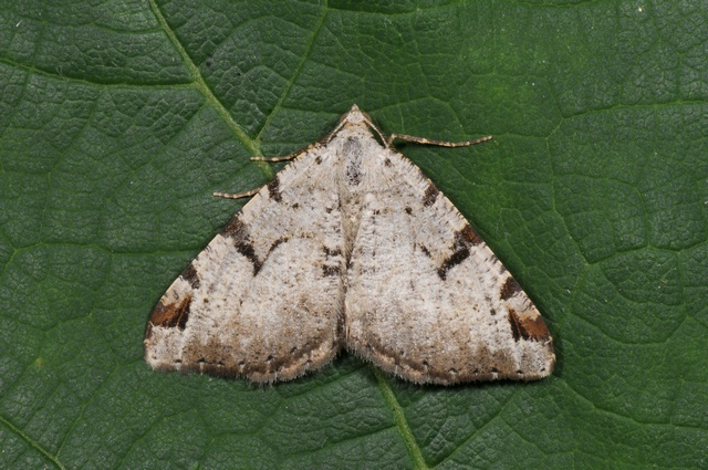 The V-Moth (Macaria wauaria)
