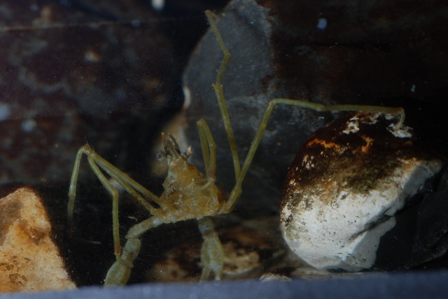 Long-legged Spider Crab (Macropodia rostrata)