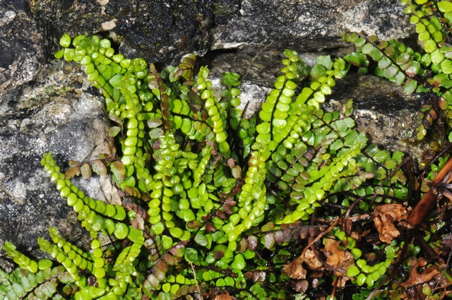Maidenhair Spleenwort (Asplenium trichomanes ssp. quadrivalens) photo