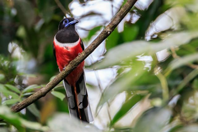 Malabar Trogon (Harpactes fasciatus) photo