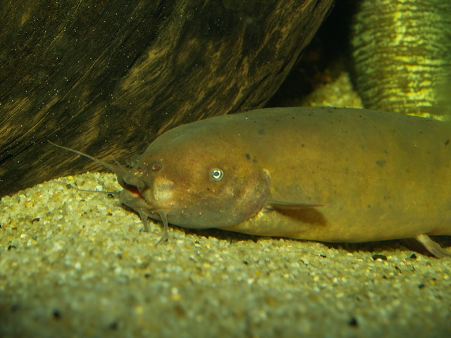 Electric catfish (Malapterurus electricus)