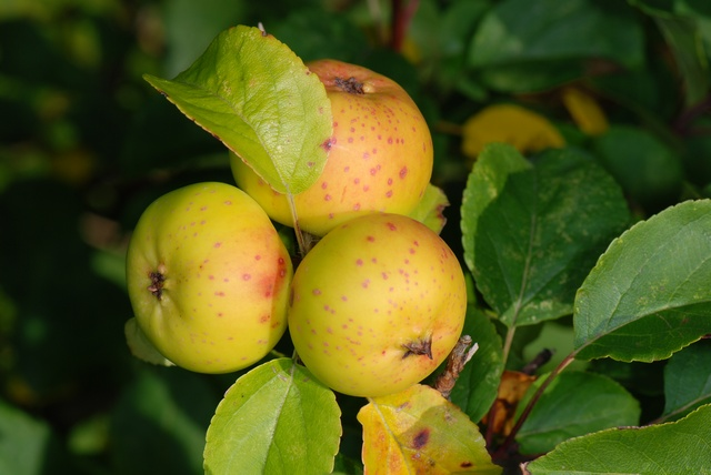Apple  Cultivated Apple (Malus domestica)