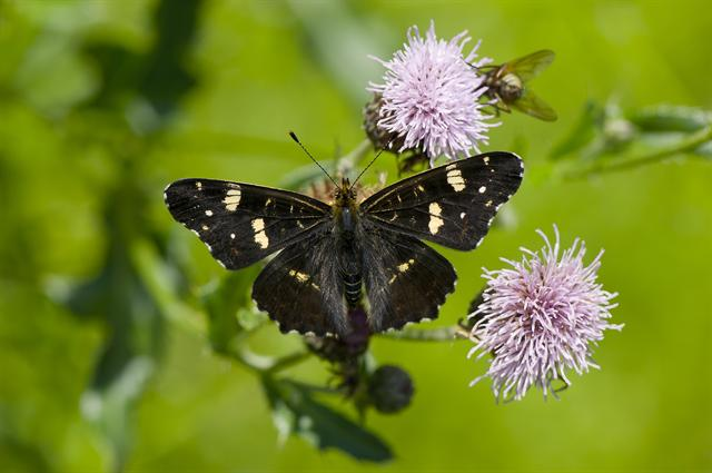 Map Butterfly (Araschnia levana) photo