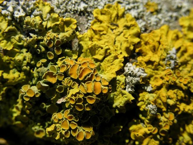 Maritime Sunburst Lichen (Xanthoria parietina) photo