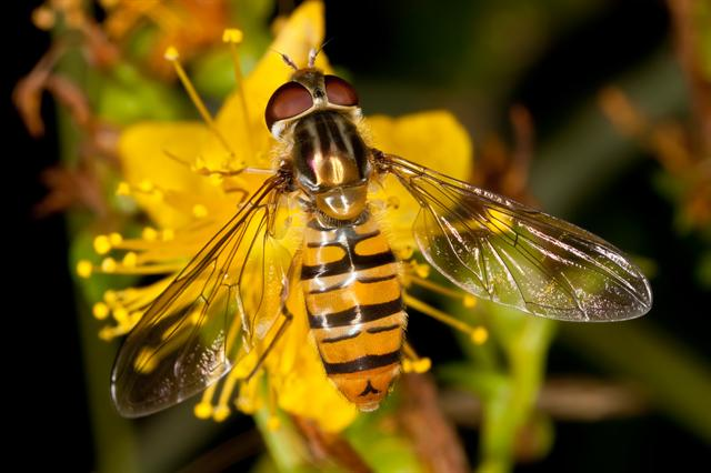Marmelade Fly (Episyrphus balteatus) photo
