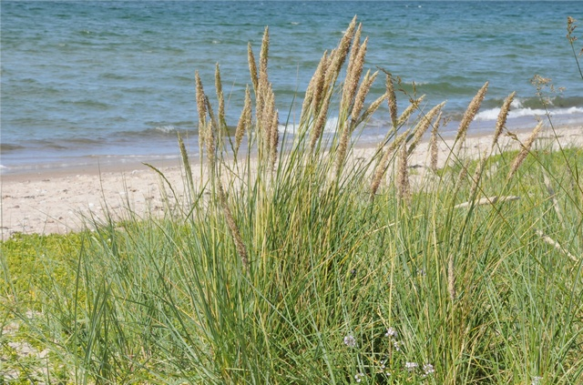 Marram - Marram Grass (Ammophila arenaria) photo