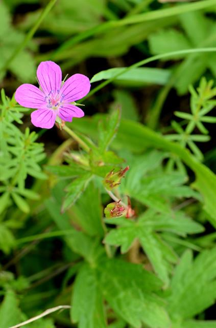 Marsh Crane´s-bill (Geranium palustre) photo
