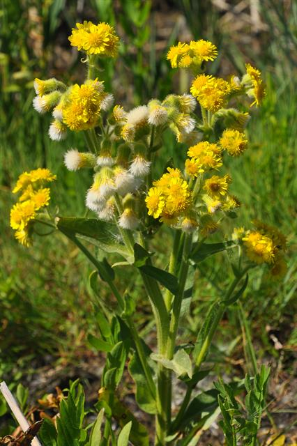 Marsh Fleawort (Tephroseris palustris) photo