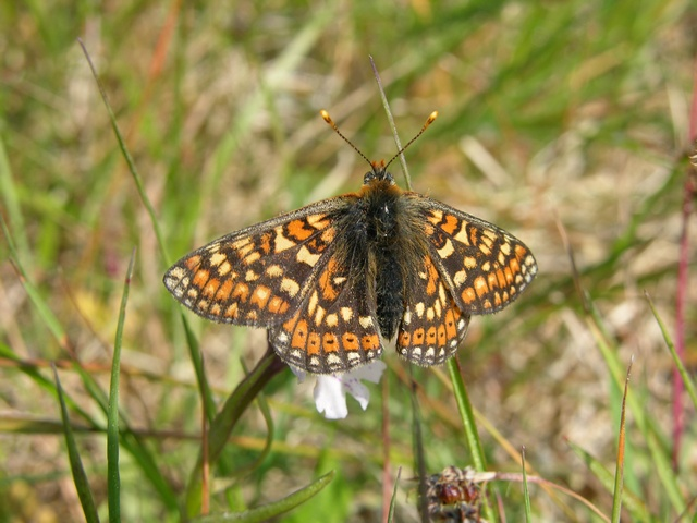 Marsh Fritillary (Euphydryas aurinia) photo