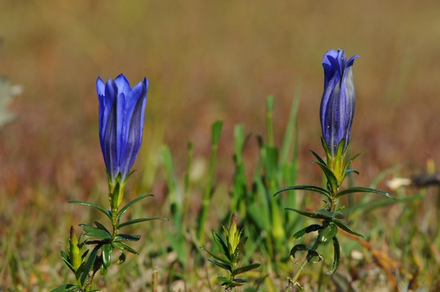 Marsh Gentian (Gentiana pneumonanthe) photo