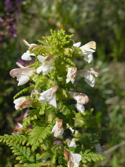 Marsh Lousewort - Red Rattle (Pedicularis palustris) photo