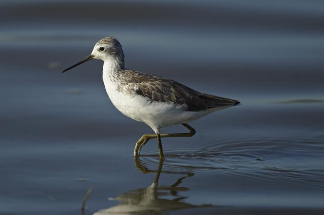Marsh Sandpiper (Tringa stagnatilis) photo