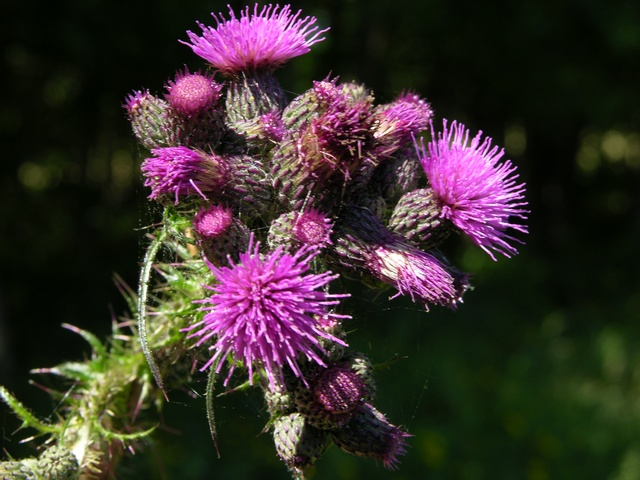 Marsh Thistle (Cirsium palustre) photo