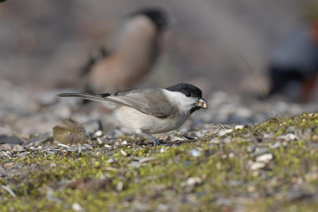 Marsh Tit (Poecile palustris) photo