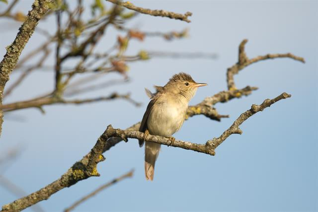 Marsh Warbler (Acrocephalus palustris) photo
