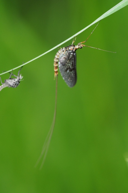 Mayfly (Ephemera danica) photo