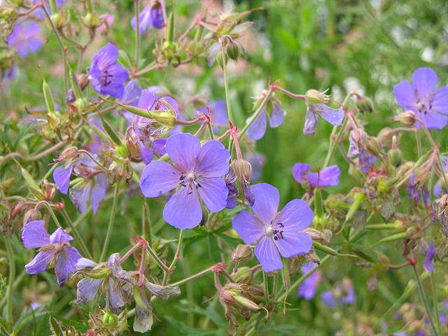 Meadow Crane´S-Bill (Geranium pratense) photo