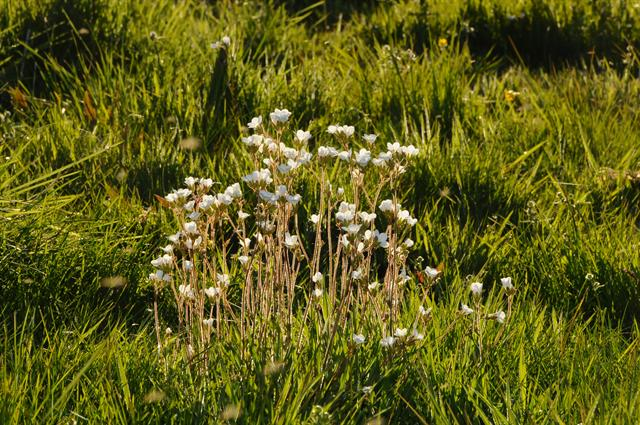 Meadow Saxifrage (Saxifraga granulata) photo