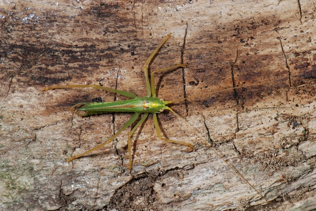 Oak Bush-cricket (Meconema thalassinum)