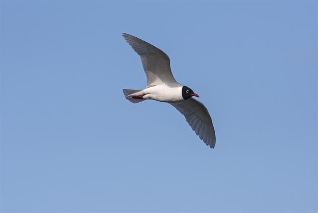 Mediterranean Gull (Larus melanocephalus) photo
