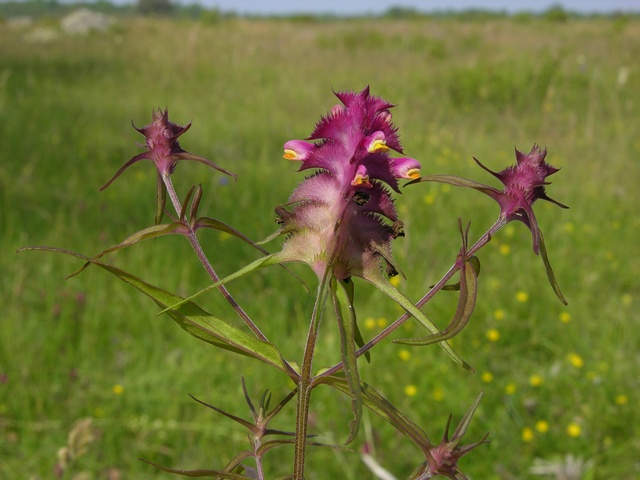 Crested Cow-Wheat (Melampyrum cristatum)