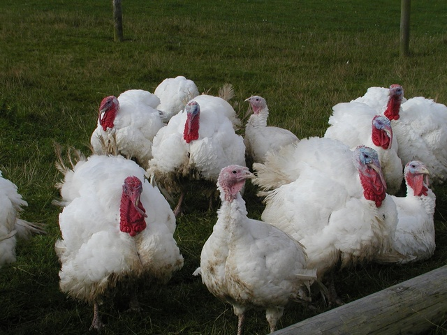 turkey (Meleagris gallopavo)
