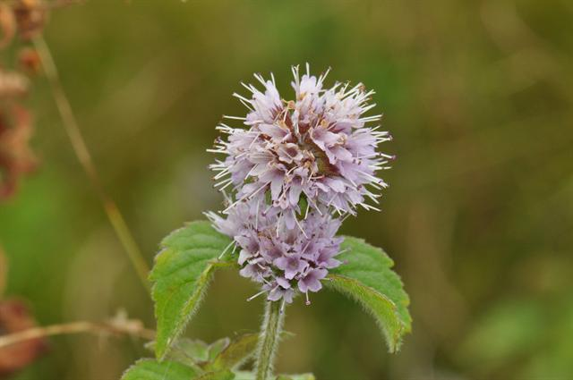 Water Mint (Mentha aquatica)