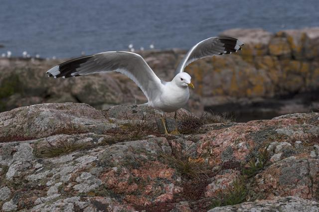 Mew Gull (Larus canus) photo