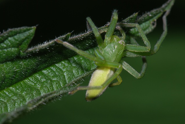 Micrommata virescens photo