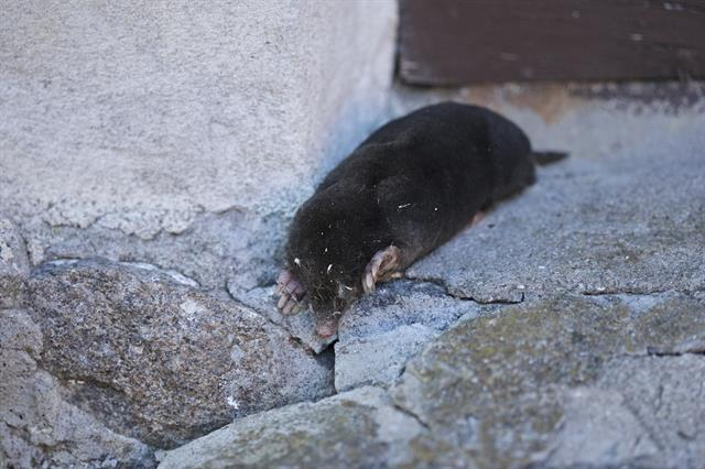 Mole (Talpa europaea) photo